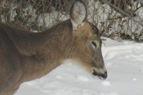 bestshot_deer01