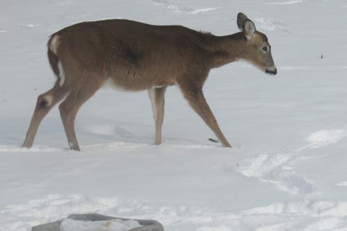 bestshot_deer02