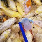 哺乳瓶で鯉のエサ